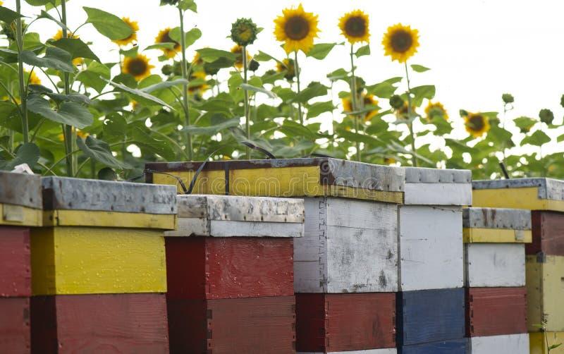 在向日葵领域的蜂箱 库存图片