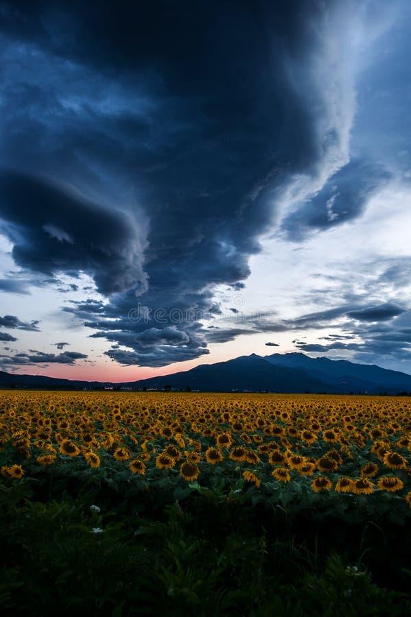在向日葵领域的阴云密布 免版税库存照片