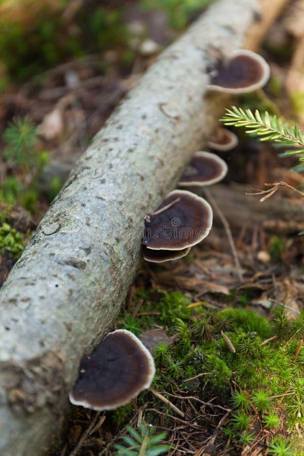 在吠声的Pinicola fomitopsis,自然生态系 免版税图库摄影
