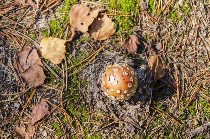 在含沙土壤的伞菌 免版税库存照片