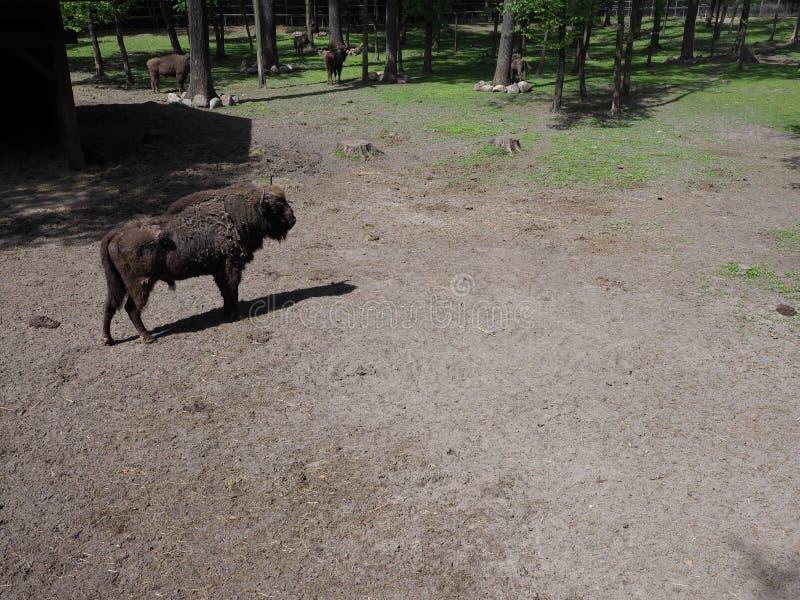 在含沙地面的欧洲北美野牛立场在市的封入物普什奇纳在波兰 免版税库存图片