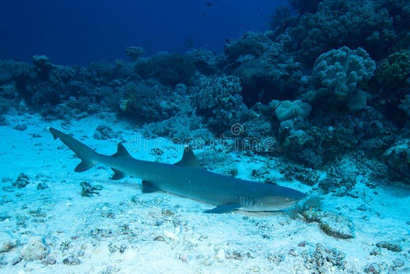 在含沙地面underwatet的绞口鲨科沉寂在背景珊瑚 免版税库存照片