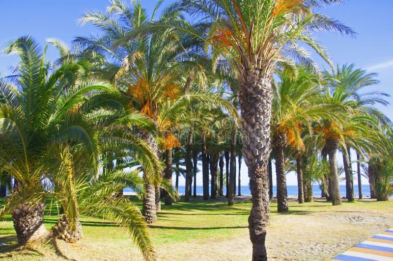 在含沙海岸,天空蔚蓝的棕榈树 库存照片