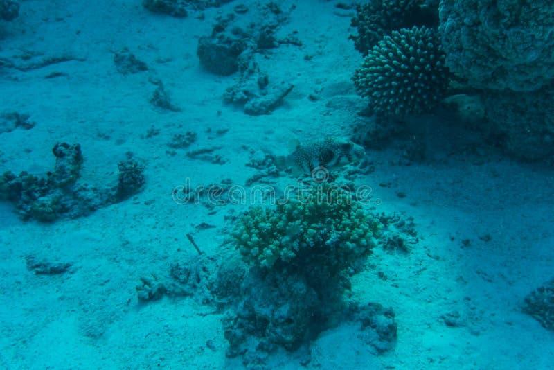 在含沙海底的年轻珊瑚礁形成 与净水和阳光的深刻的蓝色海透视图 与美洲黑杜鹃的海洋生物 图库摄影