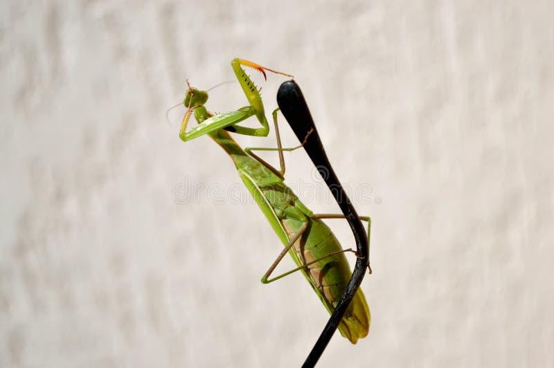 在听筒的螳螂 库存图片