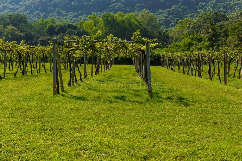 在呵叻府的葡萄园日出 库存照片