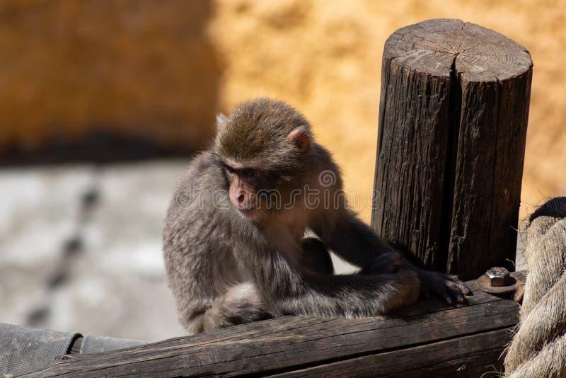 在哀伤的动物园的日本猴子沉思密谋的某事 库存照片