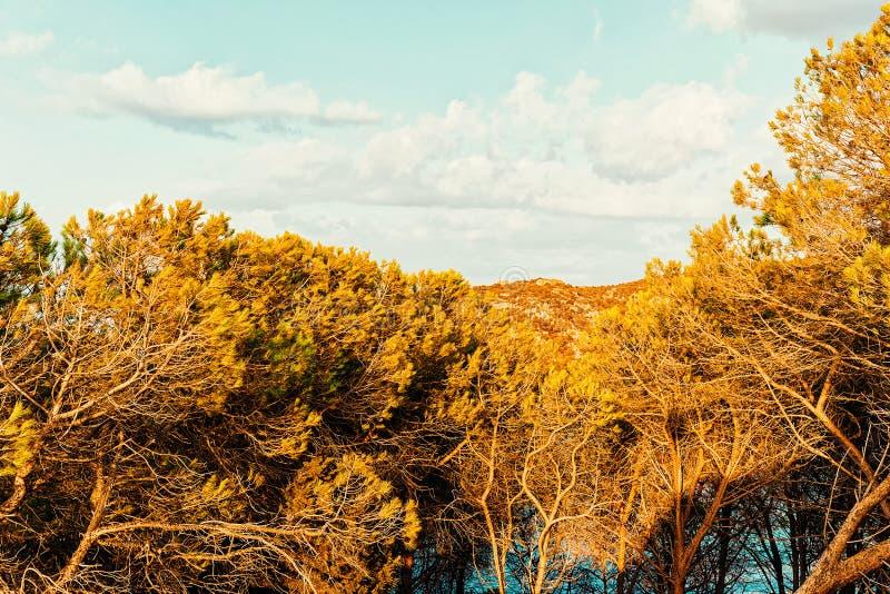 在品柱的松树耶老岛在科斯塔Smeralda撒丁岛意大利 库存图片