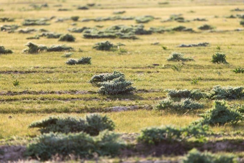 在哈萨克斯坦干草原的春天  免版税库存照片