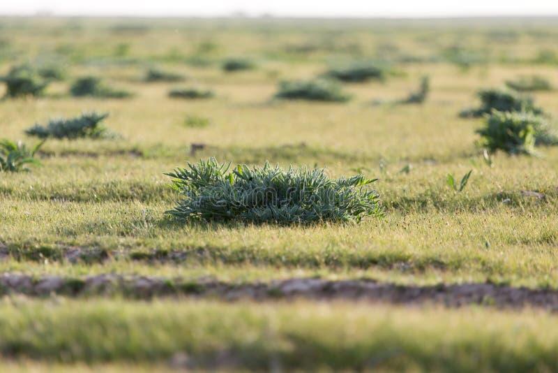 在哈萨克斯坦干草原的春天  库存照片
