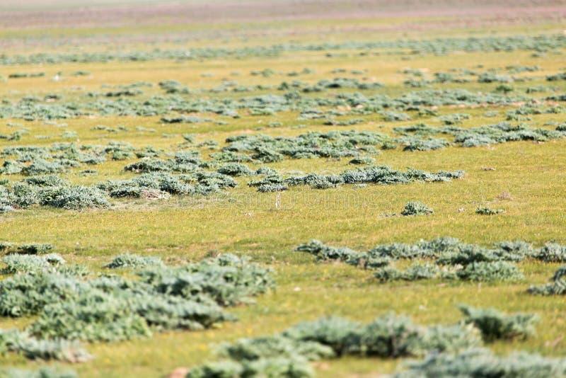 在哈萨克斯坦干草原的春天  库存图片