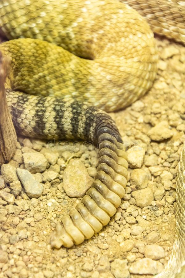 在响尾蛇尾巴的吵闹声 图库摄影