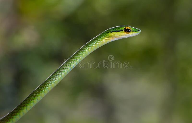 在哥斯达黎加拍摄的鹦鹉蛇 库存图片