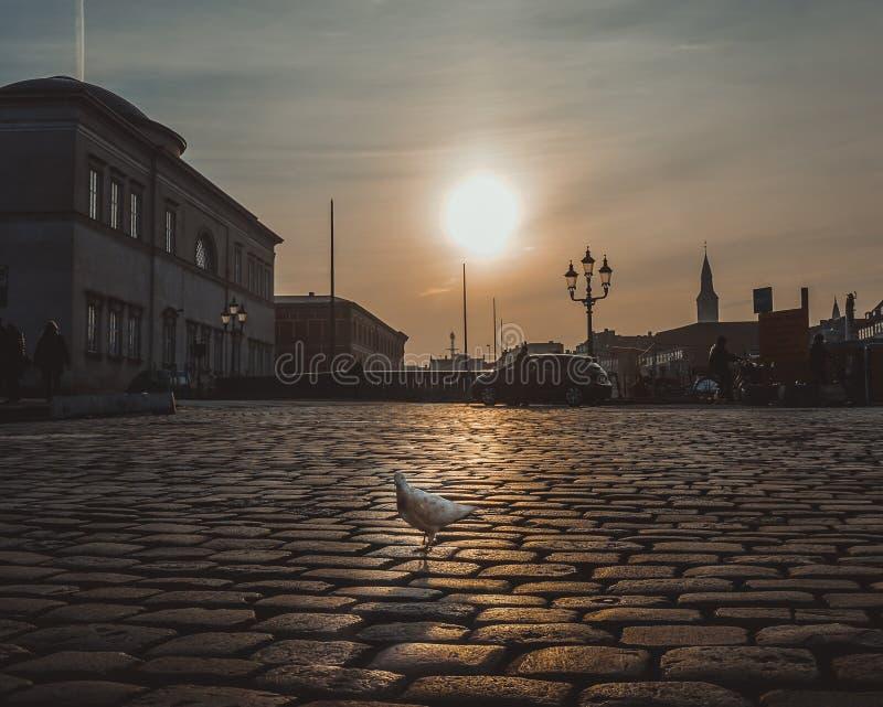 在哥本哈根日落的都市鸽子 免版税图库摄影