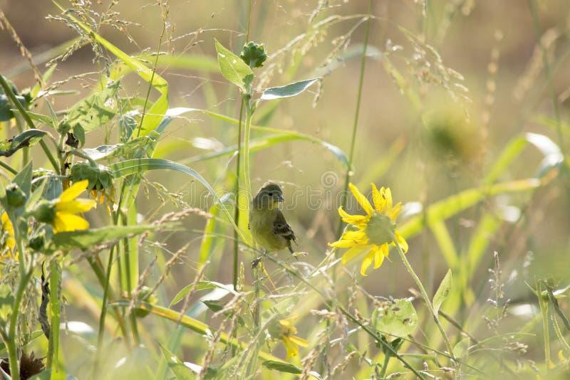 在哺养在向日葵中的种子的清早太阳的一点金翅雀金雀类psaltria 库存照片
