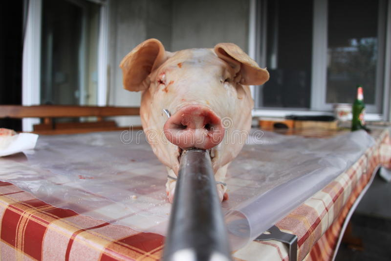 在唾液准备的猪 免版税图库摄影