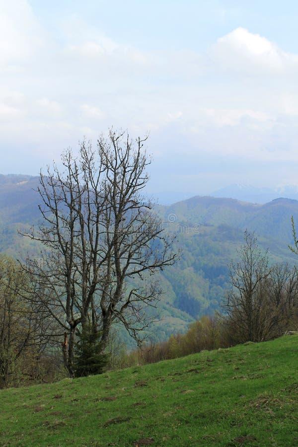 在喀尔巴阡山脉的小山的一棵干燥树 免版税库存照片