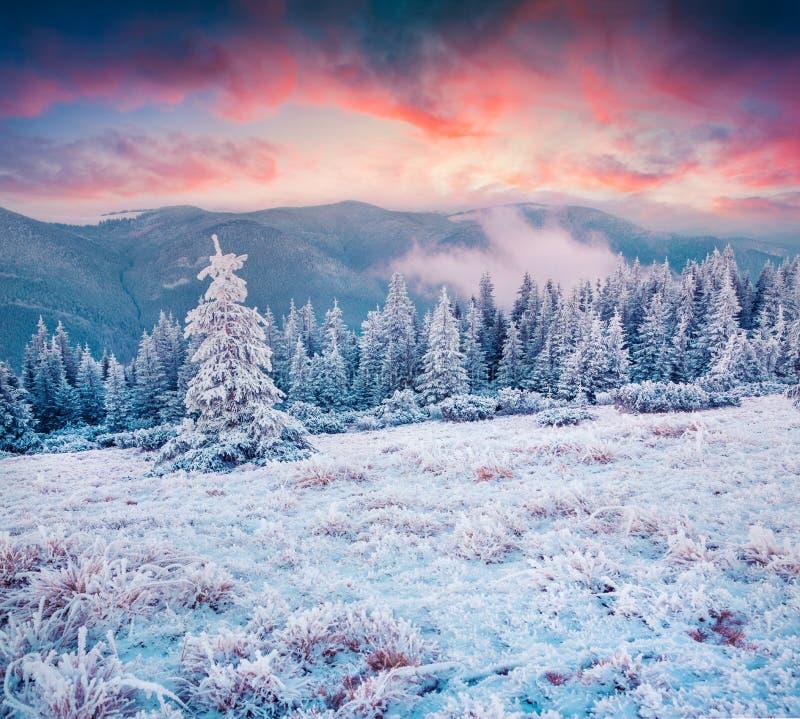 在喀尔巴阡山脉的惊人的冬天日出与雪蜷缩了 库存图片