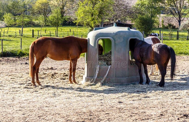 在喂养场吃草的马,德国黑森 图库摄影