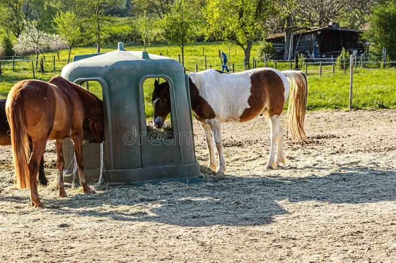 在喂养场吃草的马,德国黑森 库存图片