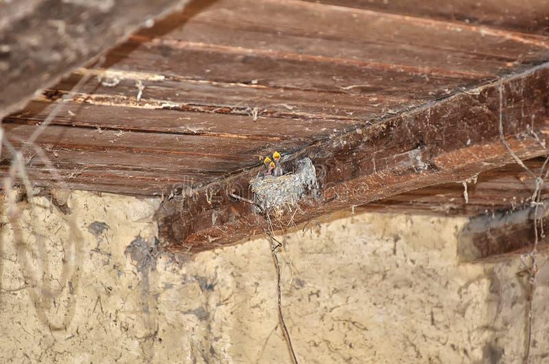 在喂养小鸟,新生儿的巢的伯德家族 保护在谷仓里面的燕子新出生的鸟 与五个年轻人燕子的巢 图库摄影