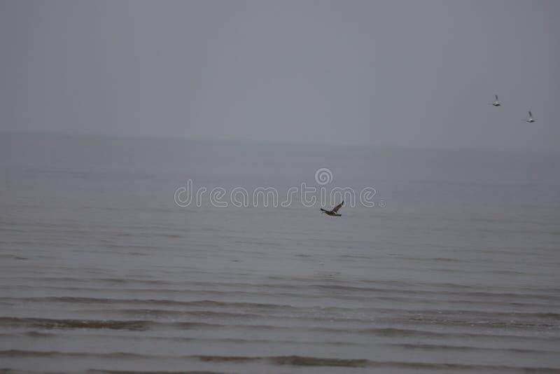 在喂浪潮的长嘴鸟的麻鹬` s在渤海 免版税图库摄影