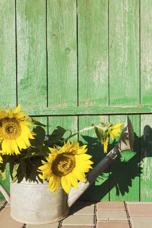 在喷壶的向日葵反对老土气木背景 文本的,设计空的空间 免版税库存照片