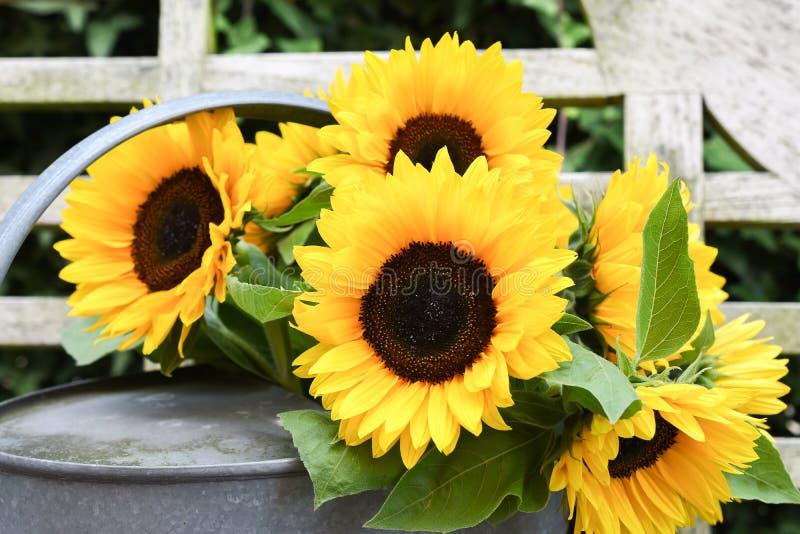 在喷壶的向日葵开花 免版税库存图片
