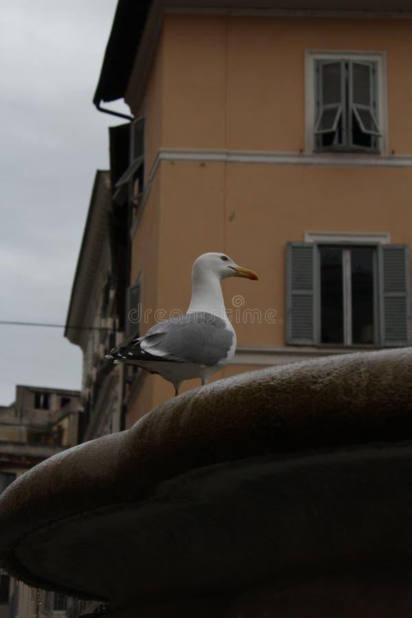 在喷泉的海鸥在罗马 免版税库存图片
