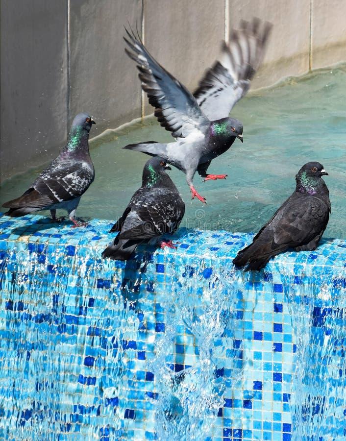 在喷泉的鸠 免版税库存照片