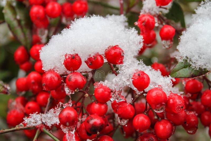 在嘎吱咬嚼的熔化的雪-接近的红色莓果-选择聚焦 免版税库存照片