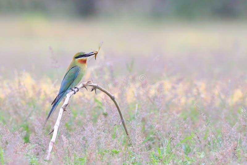 在嘴的青被盯梢的食蜂鸟举行蜻蜓在干燥竹分支 库存图片