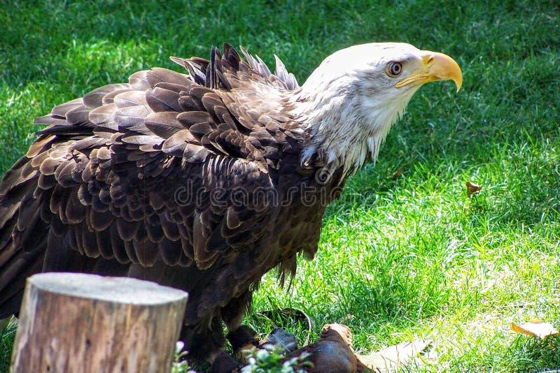 在囚禁的一只秃顶的老鹰,恢复从伤害 免版税图库摄影