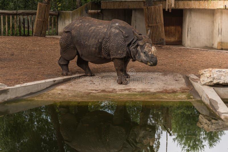 亚洲犀牛 库存照片