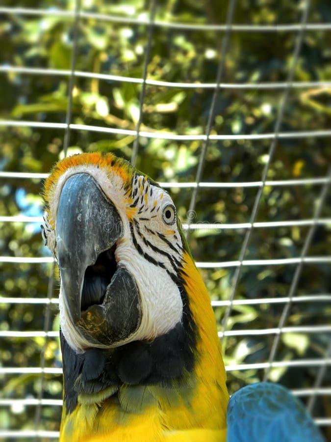 在囚禁的蓝色和黄色金刚鹦鹉 免版税库存照片