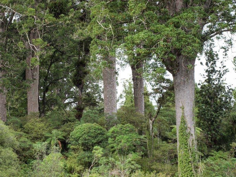 在四个姐妹走的轨道的贝壳杉树 库存照片