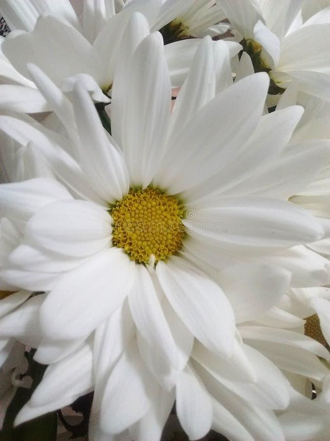 在四周冷的ligth的白色黄色自然花 库存图片