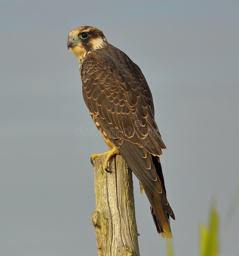 在四处寻觅的旅游猎鹰 免版税库存图片