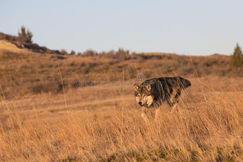 在四处寻觅的公狼食物的 免版税库存图片