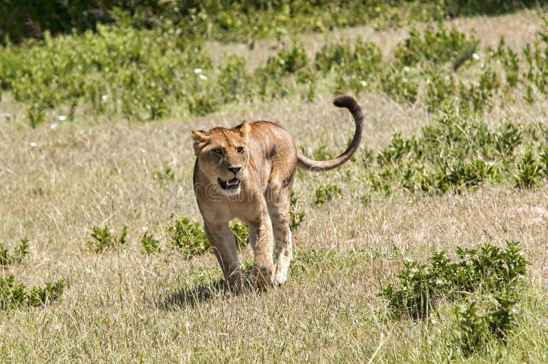 在四处寻觅的雌狮 库存照片