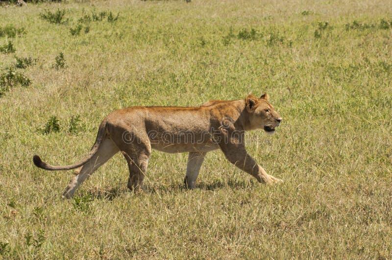 在四处寻觅的雌狮 库存图片
