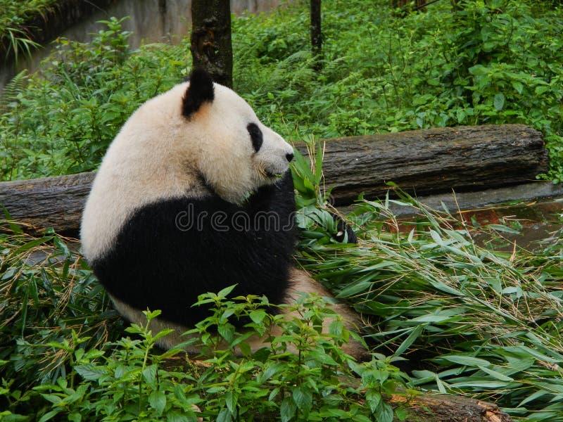 在四川储备,中国的熊猫 库存图片