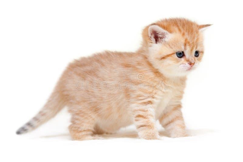在四条腿的迷人的姜镶边英国小猫立场 免版税库存图片
