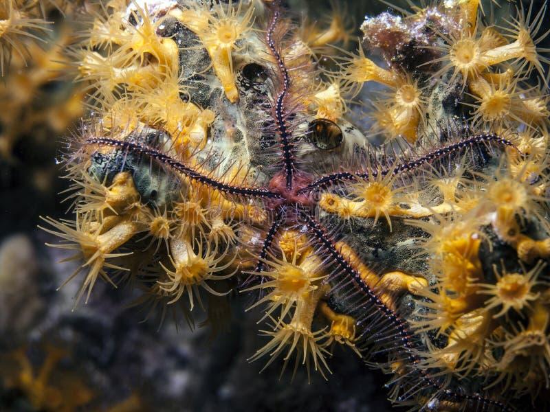 在园艺能手海绵的金黄Zoanthid 库存照片