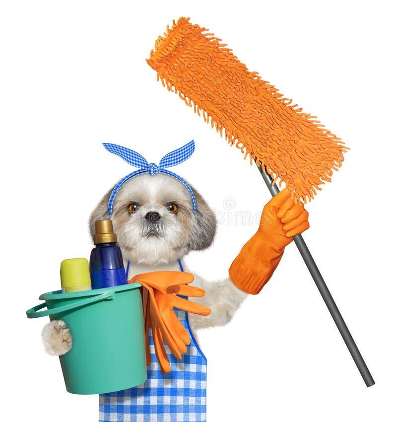 在围裙的Shitzu狗与做家务的拖把 查出在白色 免版税库存照片