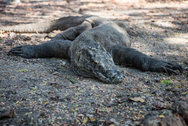 在国家公园的科莫多巨蜥 图库摄影