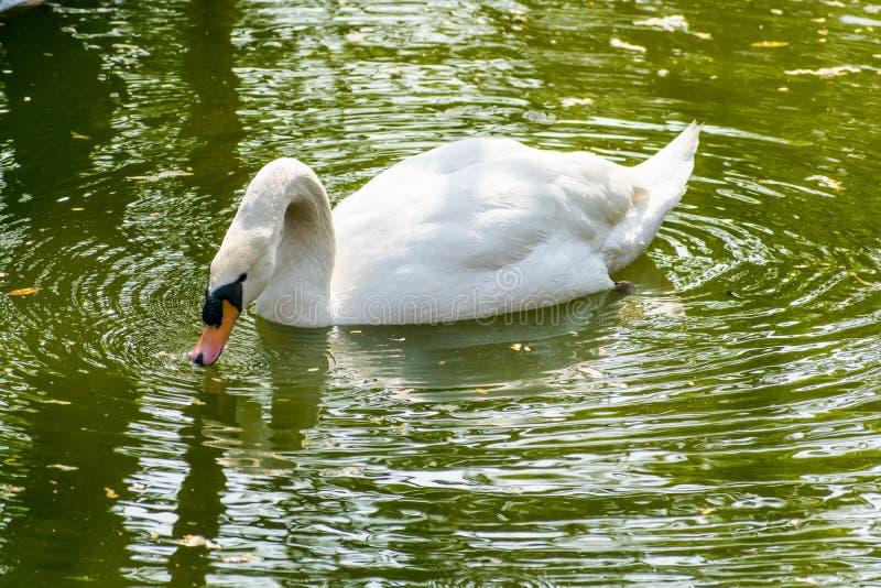在国家公园看起来的水池的天鹅游泳令人敬畏 库存图片