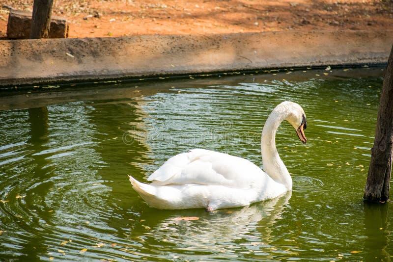 在国家公园看起来的水池的天鹅游泳令人敬畏 免版税库存照片