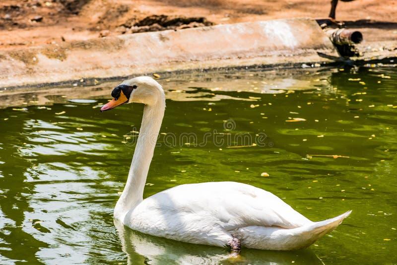 在国家公园看起来的水池的天鹅游泳令人敬畏 库存照片