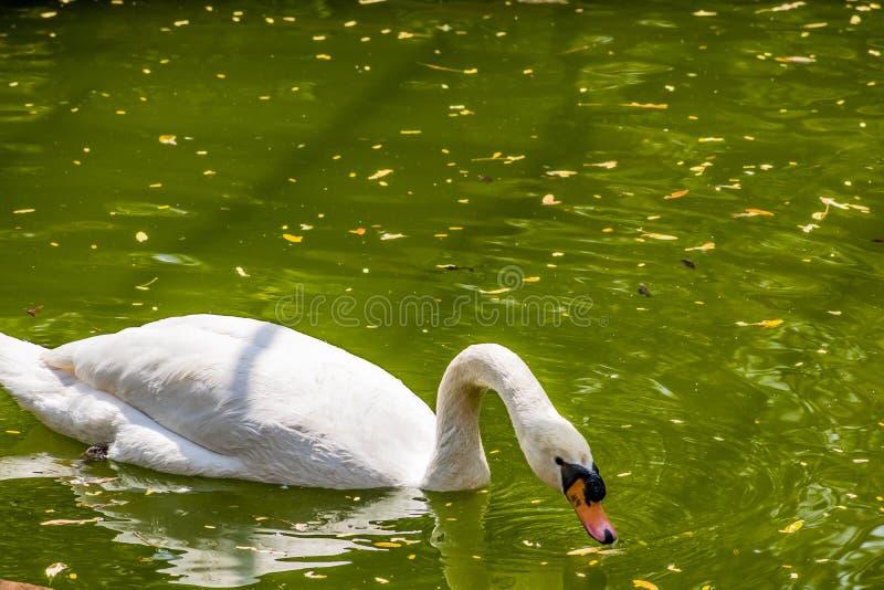 在国家公园看起来的水池的天鹅游泳令人敬畏 免版税库存图片
